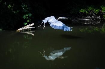 Blur Heron - Clearlake